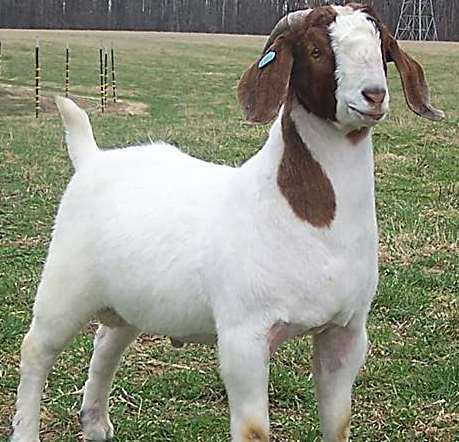 Boer Goat Breed Information Guide | Goat Farming - photo#31